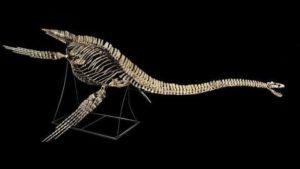 L'APPGM dénonce la mise en vente aux enchères du squelette d'un dinosaure marin vieux de 66 millions d'années appartenant au Royaume