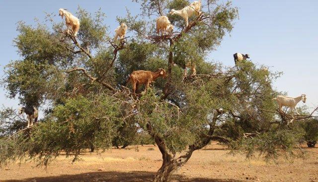 Argan: Lancement du projet de plantation de 10.000 ha d'arganiers