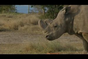Sudan, le dernier mâle rhinocéros blanc du Nord est mort