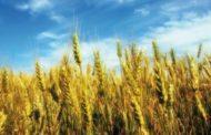 Céréales: La production estimée à plus de 98 millions Qx