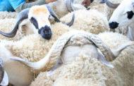 Aid Al Adha: L'ONSSA enregistre les unités d'engraissement des ovins et caprins
