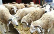 Aïd Al Adha: Mesures drastiques pour assurer la qualité du cheptel